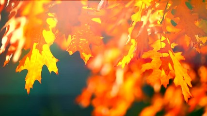 Wall Mural - Autumn leaves swinging on oak tree in autumnal park. Fall. Slow motion. 3840X2160 4K UHD video footage