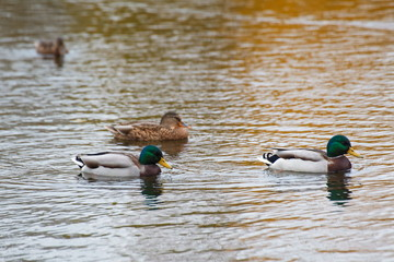 ducks swim in the lake in the Park in autumn / autumn landscape