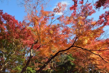 Wise Angle Landscape of colorful Japanese Autumn Maple tree