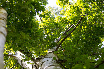 Looking up a Birch tree on a sunny day of summer
