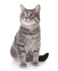 Portrait of gray tabby cat on white background. Lovely pet