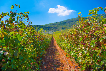 Vineyard landscape in Nemea, Peloponnese, Greece. Vineyard rows with juicy grapes ready to be harvested