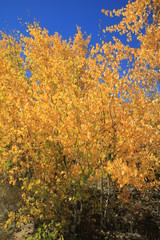 The autumn fall weather bringing in the changing colors of the aspen tree leaves in the Colorado mountains