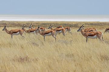 Springbockherde (antidorcas marsupialis) im Etosha Nationalpark in Namibia