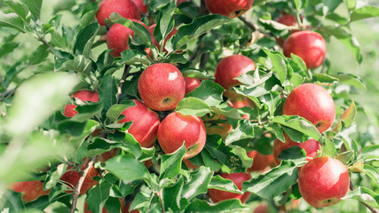 Apple fruits growing on an apple tree branch