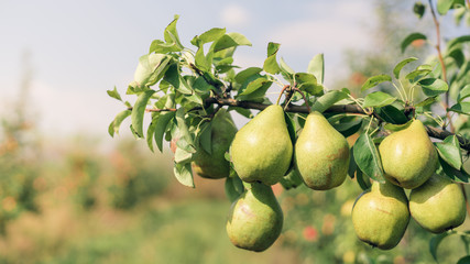 Pear fruits growing on an pear tree branch