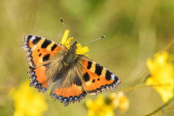 Small Tortoiseshell butterfly - Aglais urticae, beautiful colorful butterfly from European meadows and grasslands.