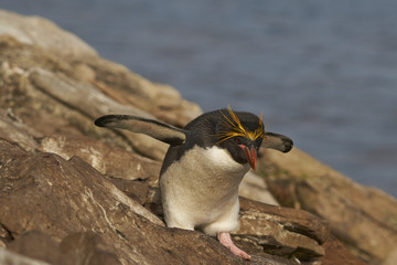 Macaroni Penguin (Eudyptes chrysolophus) on a cliff leading to the sea on Saunders Island on the Falkland Islands.