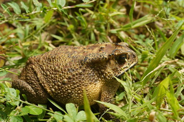 Indian Frog