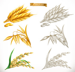 Ears of wheat, oats, rice. 3d realism and engraving styles. Vector illustration