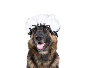 Funny dog dressed as a wolf disguised as the grandma of Little Red Riding Hood and wearing a grandma bonnet (isolated on white)