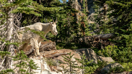 Mountain goat in the wilderness finds a viewing point from the top of a rock in the forest
