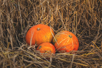 Image of three lovely pumpkin lying in the withered rye field
