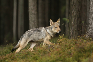 Cabis lupus - Young cub of Grey wolf looking around in forest
