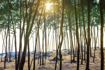 Forest area of Pine tree at the sea beach on the sand in the morning. India, Asia, february 2018.