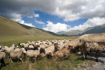 sheep grazing in the plain of castelluccio-umbria.