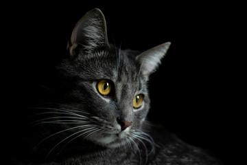 Gray Cat Looking