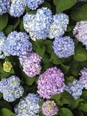 IMG_6211 Lilacs