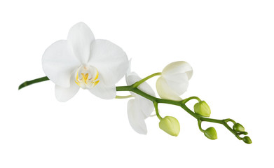 Photo sur Plexiglas Orchidée Moth orchid on white