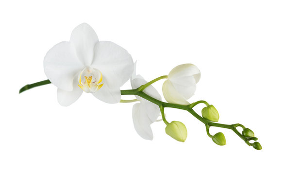 Moth orchid on white