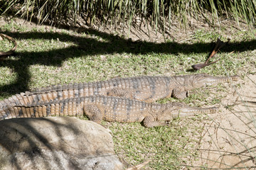 two fresh water crocodiles