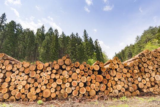 宮城県花山の杉材伐採現場