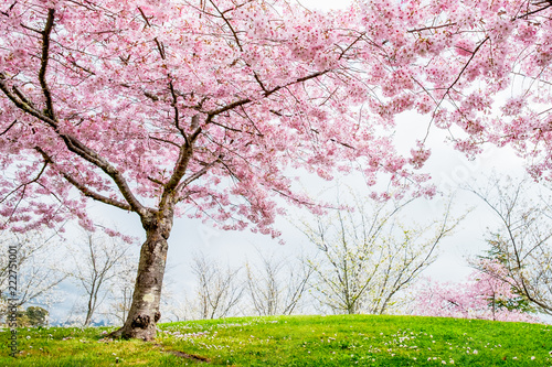Beautiful Full Bloom Cherry Blossom Trees In The Early Spring Season Pink Sakura Anese Flower