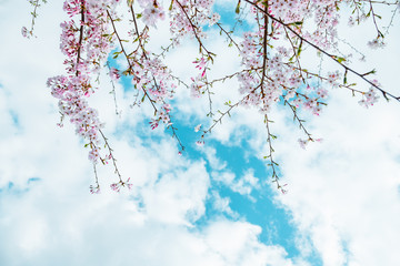 Beautiful full bloom cherry Blossom in the early spring season. Pink Sakura Japanese flower in over the blue sky. Japanese Garden.