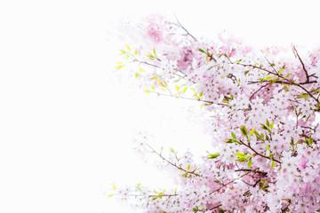 Beautiful full bloom cherry Blossom in the early spring season. Pink Sakura Japanese flower. Japanese Garden. Isolated on white background.