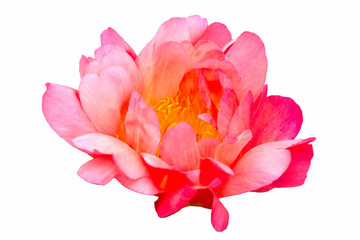 """Red peony """"coral sunset"""" on a white background."""
