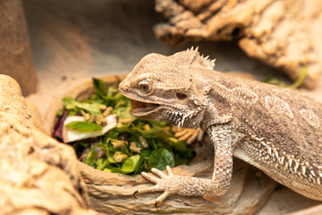 bearded dragon in a terrarium