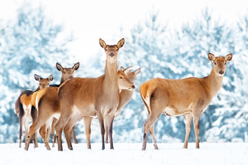 Wall Mural - Group of beautiful female graceful deer on the background of a snowy winter forest. Noble deer (Cervus elaphus). Artistic Christmas winter image.
