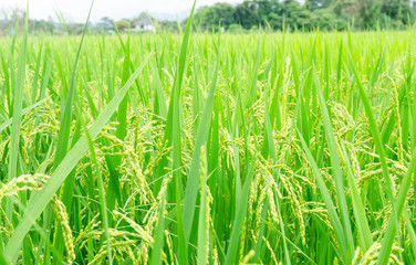 green rice field growing in agricultural area, Thailand