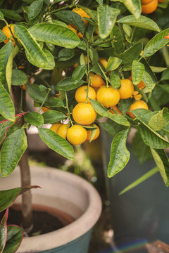 Miniature citrus tree