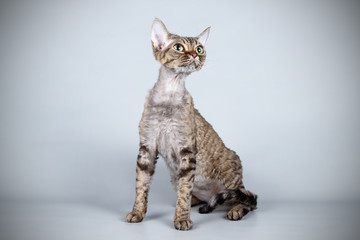 Devon rex cat on colored backgrounds