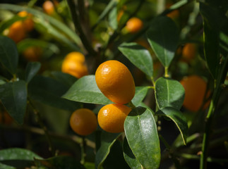 Kumquat fruits orange