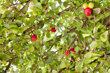 Red cherries on a tree with green leaves.