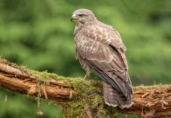 Common Buzzard in natural environment Wall mural