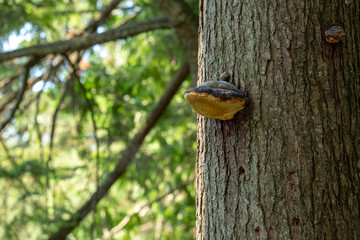 Fungus on a tree trunk in a Canadian forest British Columbia