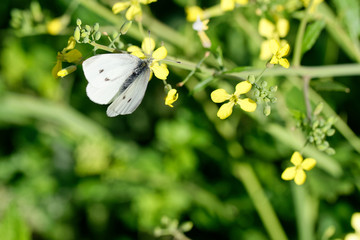 detail of cabbage butterfly