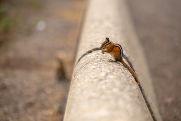 Chipmunk squirrel eating a nut on a concrete wall