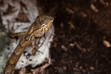 Top view of a Brown Asia Lizard Chameleon lying on the ground. (Dark toned)