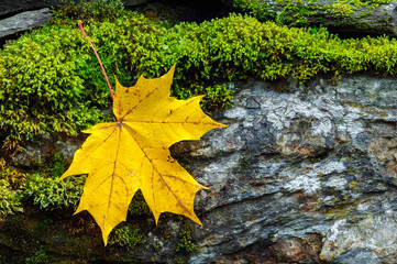 Yellow autumn maple leaf on stone wall covered with green moss.