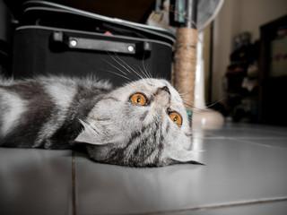 Scottish fold cat fur gray striped black so cute.