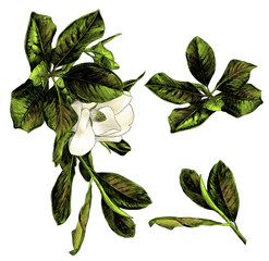 set of Magnolia branches with flower and leaves
