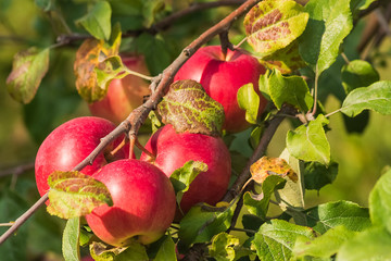 Ripe red apples on an apple tree; harvesting, autumn.