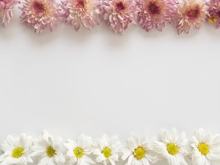 Top view of pink and white flowers, those are called Chrysanthemum, placed on top and bottom of frame on white background
