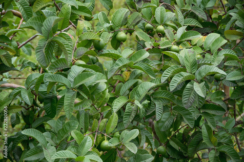 Guava fruit, guava plant grown in tropics, picture use for