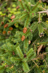 Picea abies Pusch- the Norway spruce