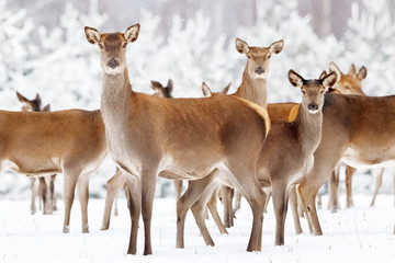 Wall Mural - Group of beautiful female deer on the background of a snowy winter forest. Artistic Christmas winter image.